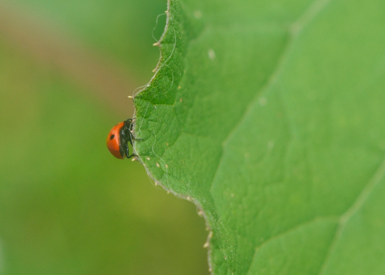 Ladybug walking over the edge of a leaf