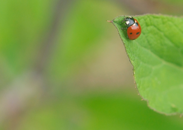 Ladybug on the tip of a leaf