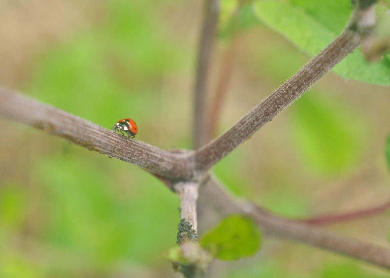 Ladybug Walking up a Stem