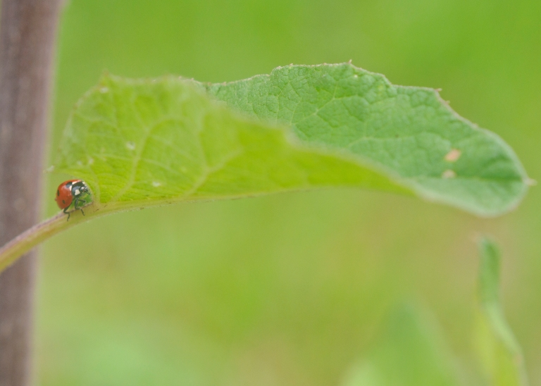 Ladybug Walking into the Leaf