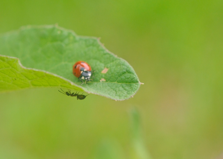Ladybug and Ant on a leaf